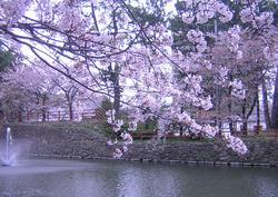 hanami11.jpg